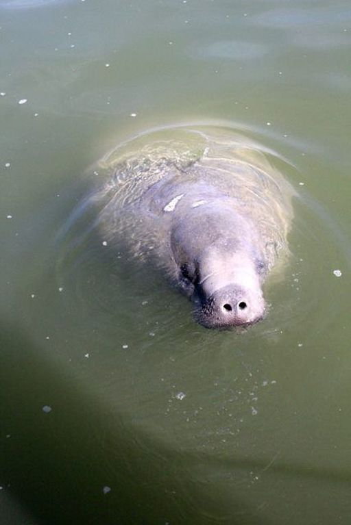 Manatee Sightings